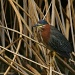 Green Heron by kerristephens