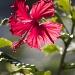 Hibiscus sun dance by sugarmuser