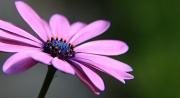 15th Jun 2012 - Violet Sunbather