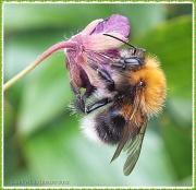 16th Jun 2012 - Busy Bee