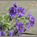 Perennial geranium by rosiekind