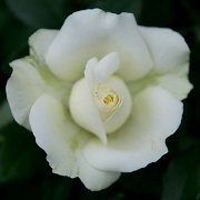 17th Jun 2012 - White Rose