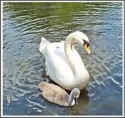 21st Jun 2012 - Swan Family Re-visited