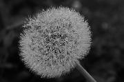 22nd Jun 2012 - Frozen Dandelion