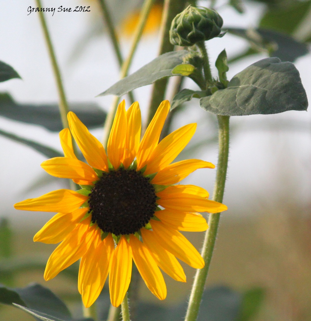 Drive by Sunflower by grannysue