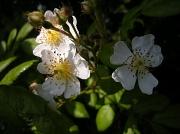 23rd Jun 2012 - Wild roses