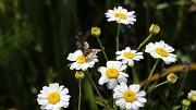 24th Jun 2012 - Is it a wasp