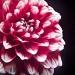 My beautiful dahlia by joa