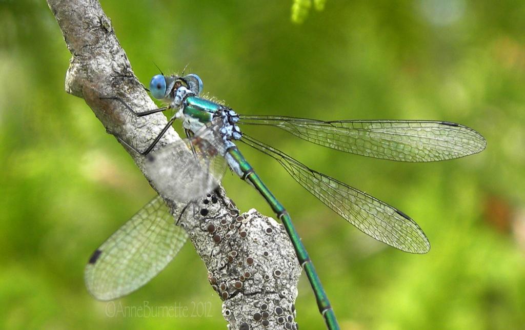 Emerald Spreadwing by sunnygreenwood