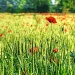 wheat field poppies by jantan