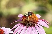 25th Jun 2012 - Bee on the Echincea Flower