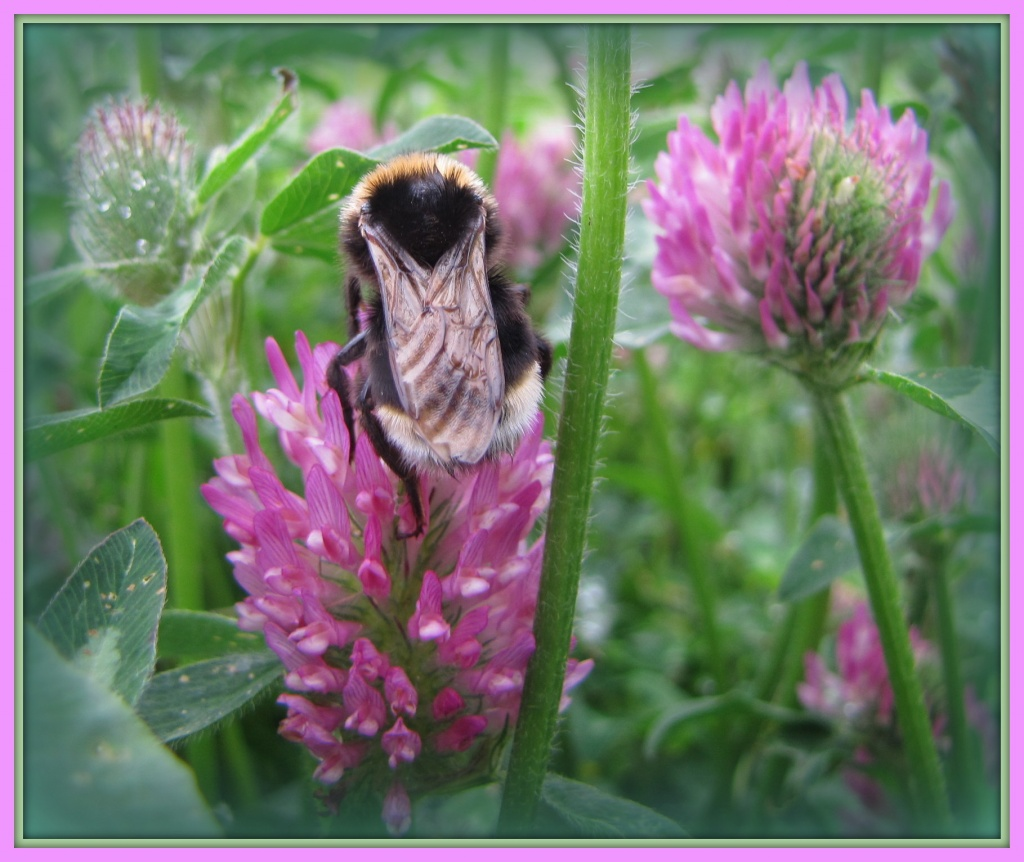 Giant bumble bee on the clover by busylady