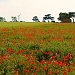 Poppy Field  by kimcrisp
