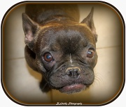 """28th Jun 2012 - """"Beans"""",  my granddog"""