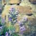 Lavender by halkia