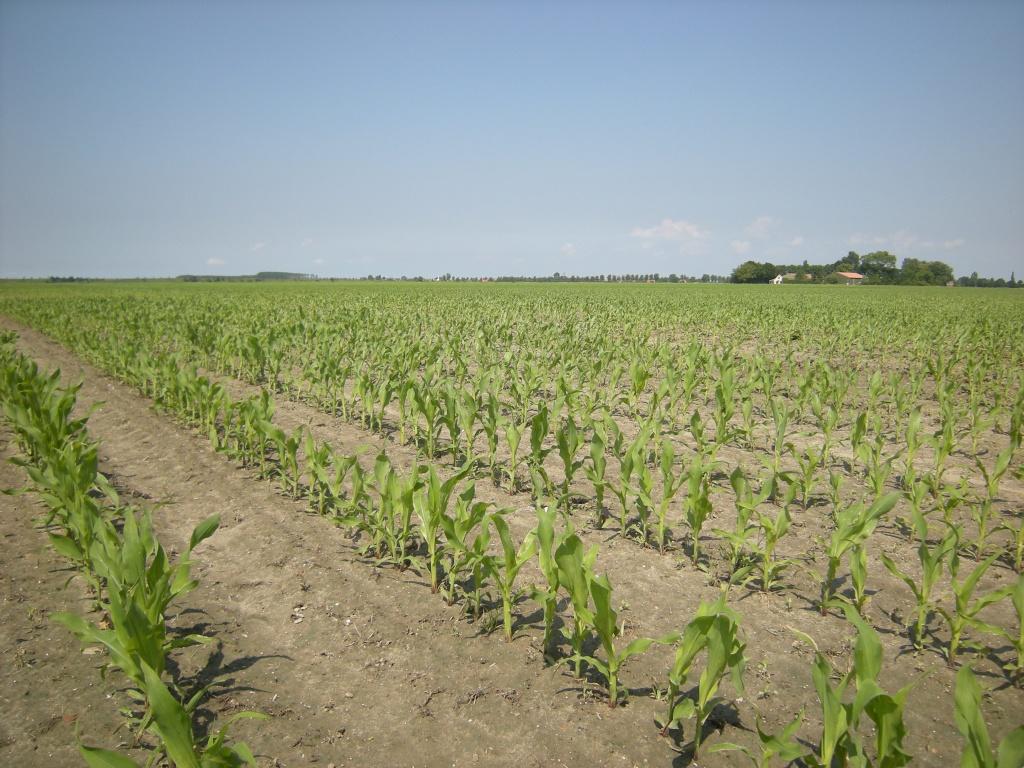 Field of maize - cornfield by pyrrhula