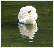 2nd Jul 2012 - Another Lake,Another Swan
