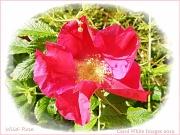 2nd Jul 2012 - Wild Rose