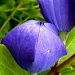 Balloon Flower by denisedaly