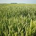 And wheat fields by pyrrhula