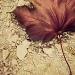 Maple Leaf by edie
