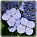 lace capped hydrangea by mjmaven