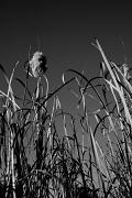 4th Jul 2012 - Reeds