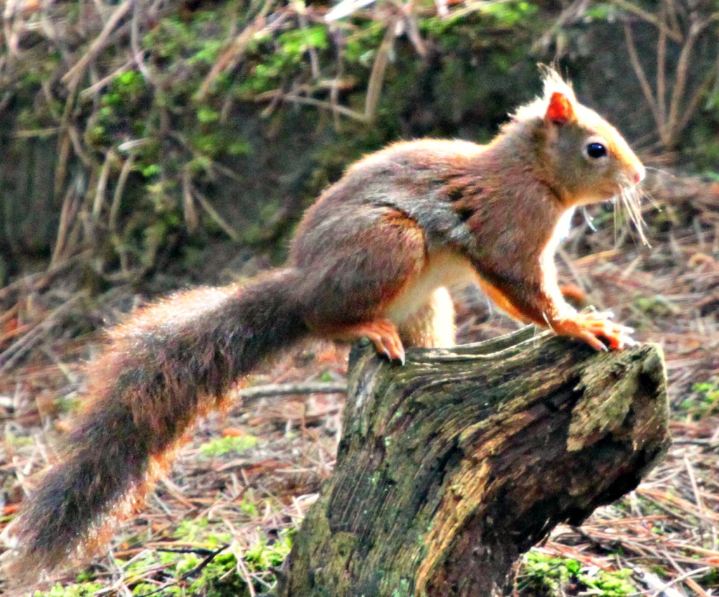 Red Squirrel by kimcrisp