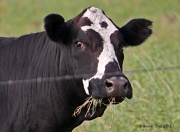 3rd Jul 2012 - Country Cow