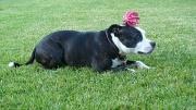 4th Jul 2012 - Tommy the Wonder Dog