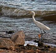 4th Jul 2012 - Surf Fishing Snowy Egret