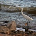 Surf Fishing Snowy Egret by grannysue