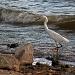Surf Fishing Snowy Egret by grannysue