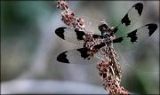 4th Jul 2012 - Common Whitetail