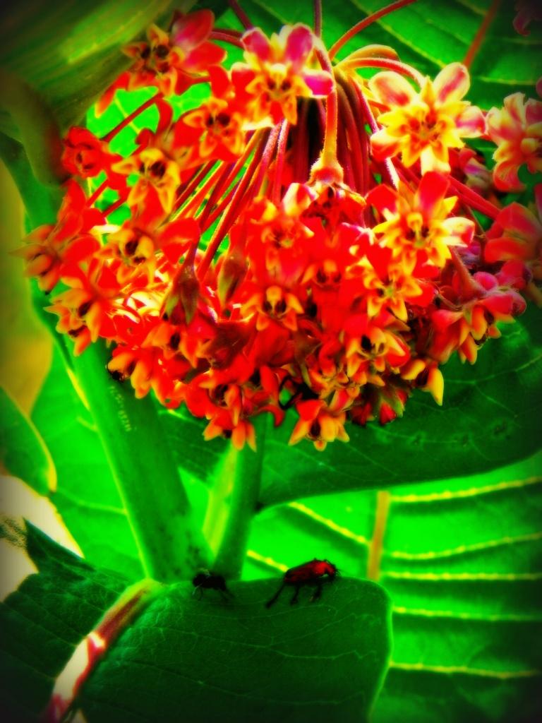 Milkweed+2bugs by edorreandresen
