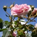 Blue sky ,pink rose by snowy