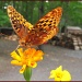 Great Spangled Fritillary by olivetreeann