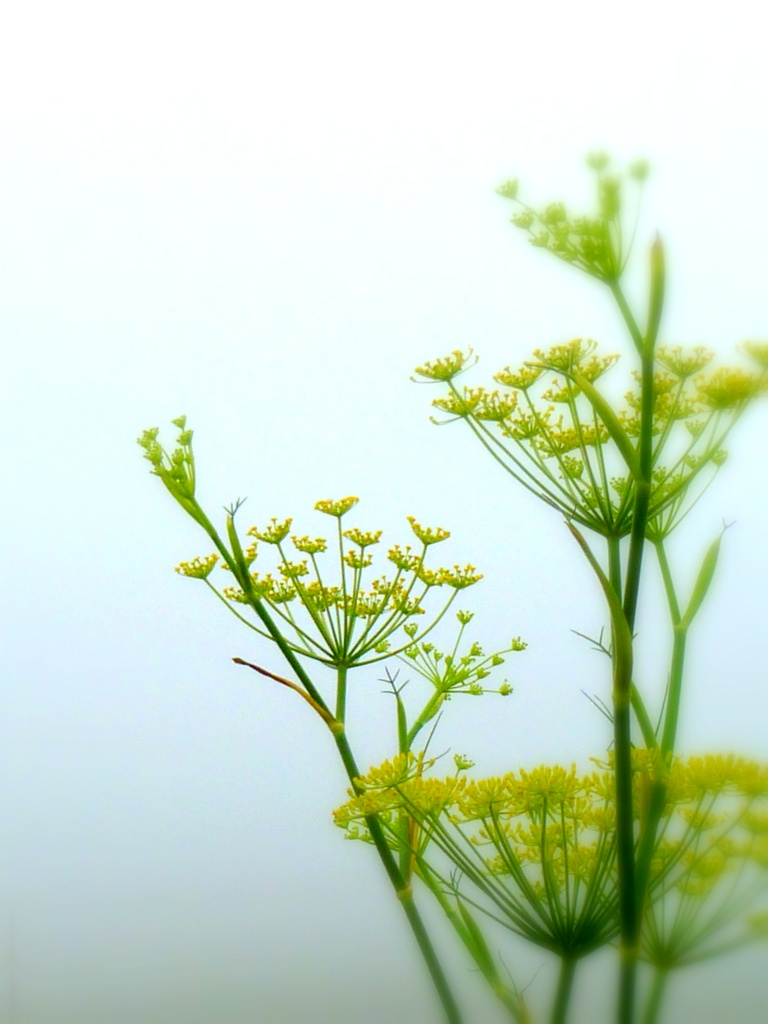 Dill in the Morning Mist by calm