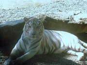 9th Jul 2012 - White Tiger