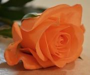 9th Jul 2012 - Rose