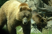8th Jul 2012 - Grizzly