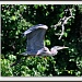 Fancy flight of a great blue heron. by sailingmusic