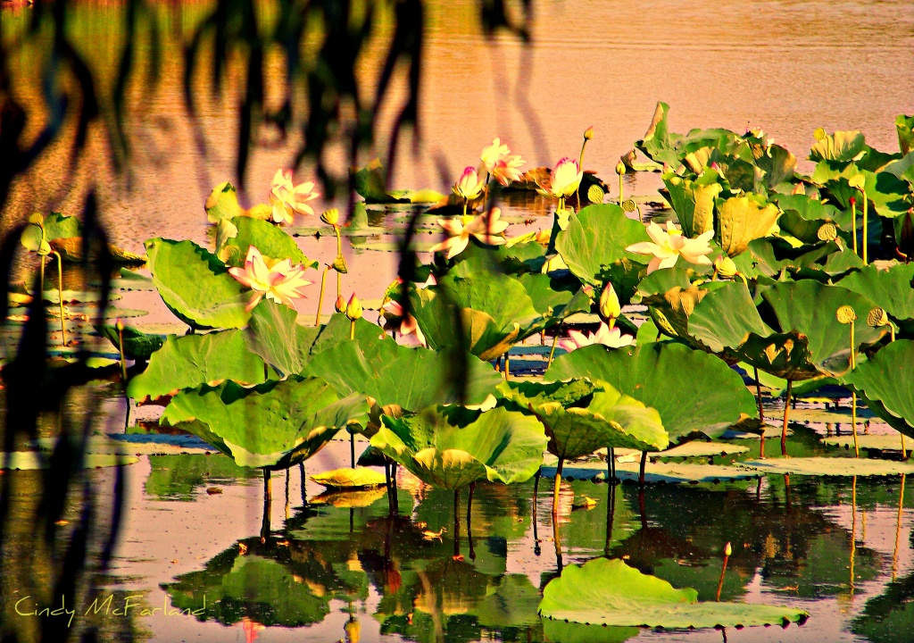 Lilly Pond Revisited by cindymc