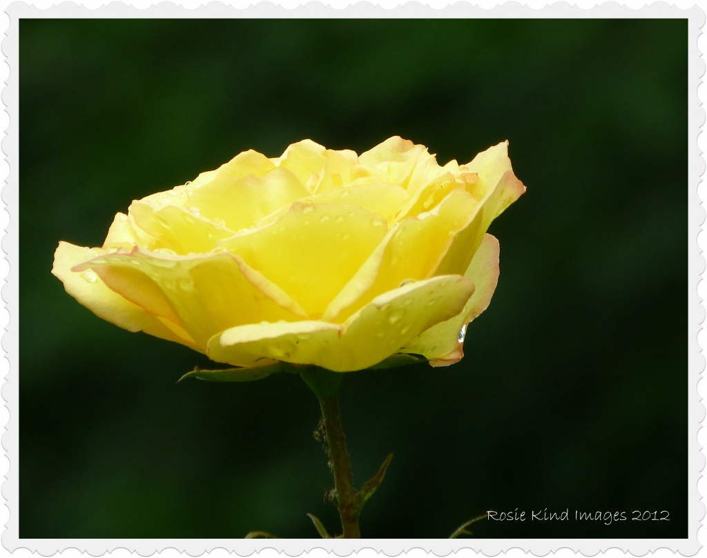 Yellow Rose by rosiekind