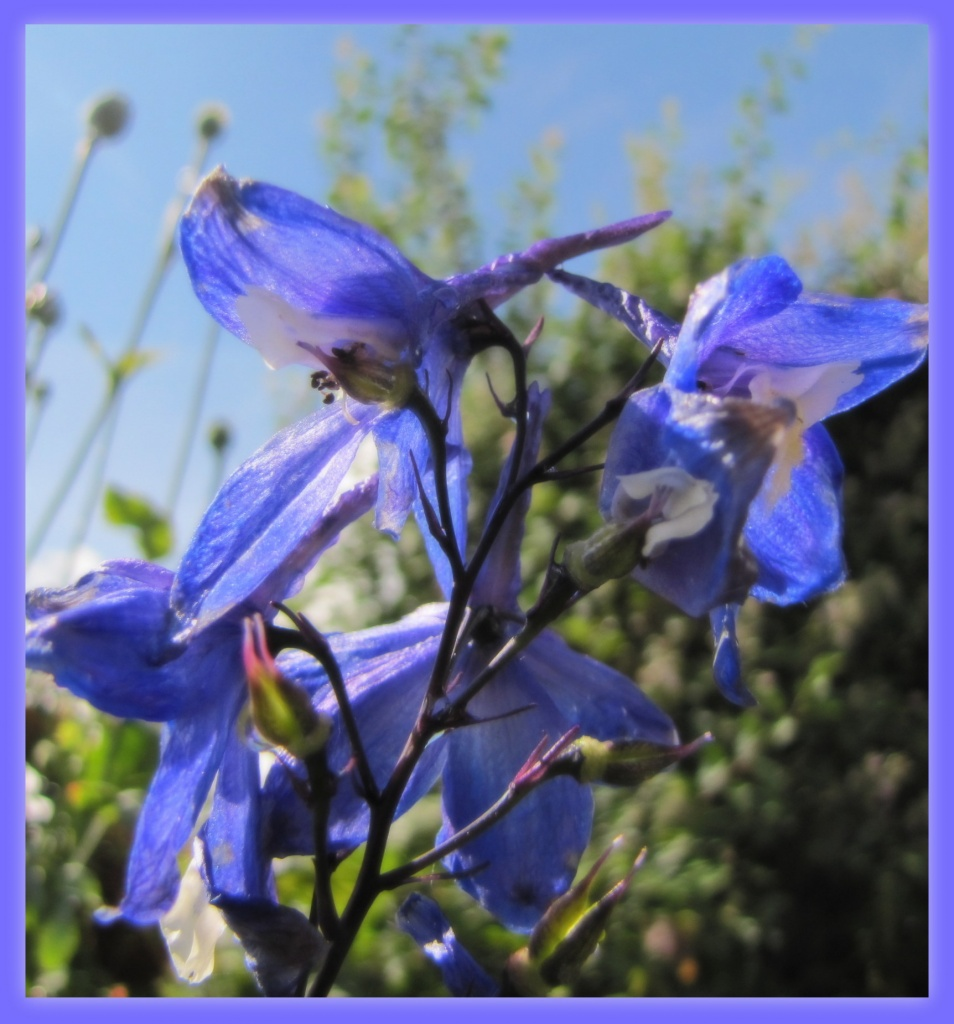 Delphiniums by busylady