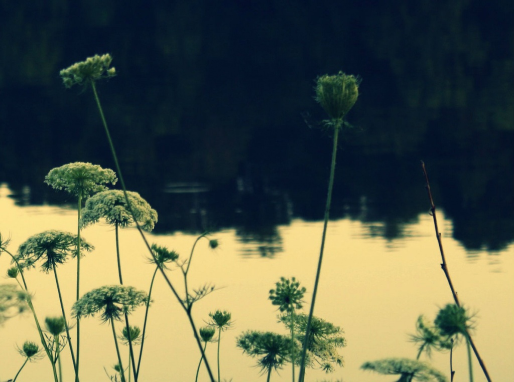Queen Anne's Lace by mittens