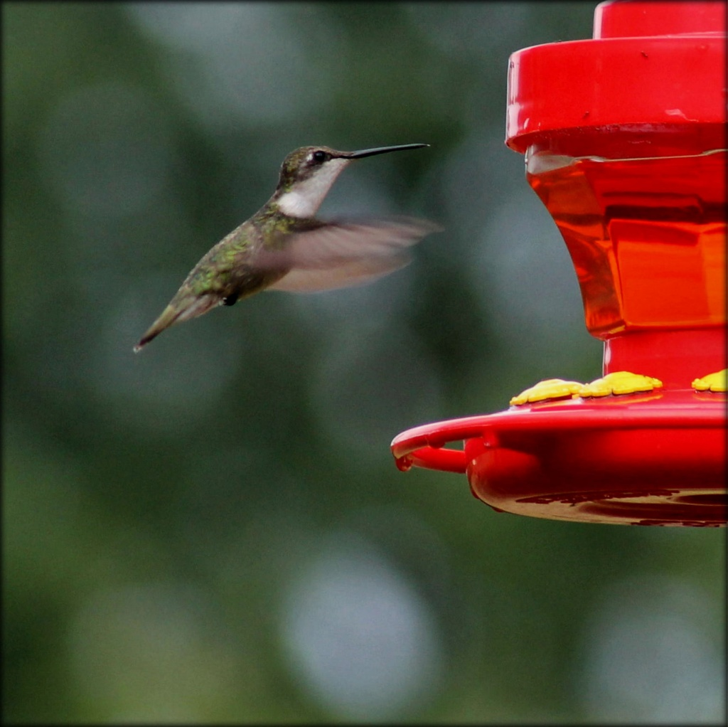 Rain and hummingbirds  Life is good today! by cjwhite