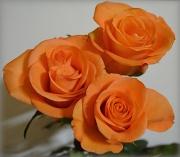 11th Jul 2012 - 3 Roses