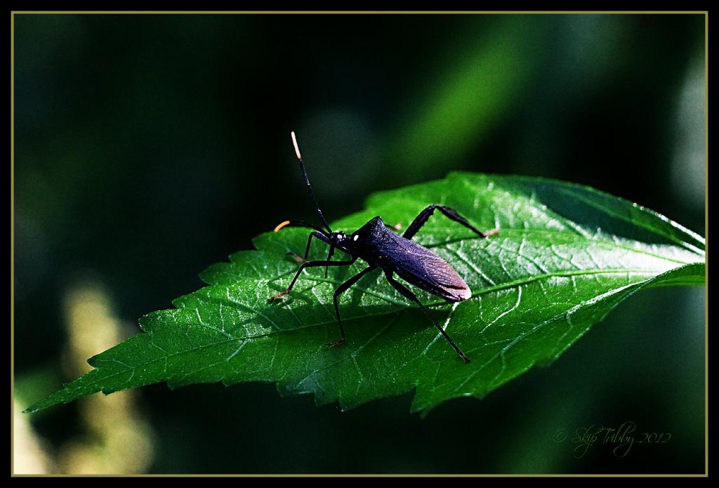Leaf footed Bug by skipt07