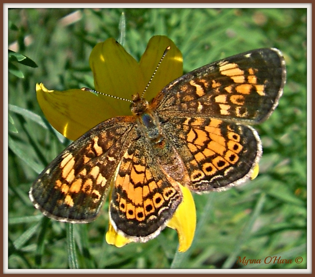 Northern Crescent butterfly by sailingmusic